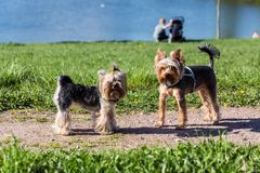 Perros del terrier de Yorkshire que juegan en el parque Imagenes de archivo