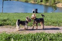Perros del terrier de Yorkshire que juegan en el parque Fotos de archivo