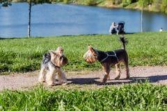 Perros del terrier de Yorkshire que juegan en el parque Foto de archivo libre de regalías