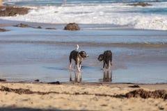 Perros del terrier y de caniche de Staffordshire americano fotos de archivo libres de regalías