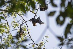 Perros del vuelo en un árbol en el lago Kandy, Sri Lanka Fotografía de archivo libre de regalías