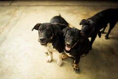Perros divertidos Fotografía de archivo libre de regalías