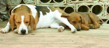Perros el dormir Imágenes de archivo libres de regalías
