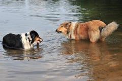 Perros en agua Imagen de archivo libre de regalías