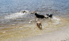 Perros en agua foto de archivo