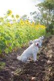 Perros en el campo del girasol imagenes de archivo