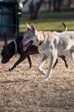 Perros en el parque Fotografía de archivo