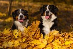Perros en hojas fotografía de archivo
