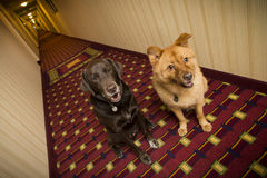Perros en hotel amistoso del animal doméstico Imagenes de archivo