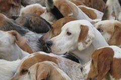 Perros en la caza Imagen de archivo libre de regalías