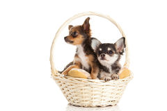 Perros en la cesta aislada en el fondo blanco Foto de archivo