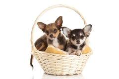 Perros en la cesta aislada en el fondo blanco Imagenes de archivo