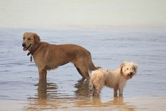 Perros en la costa de Caraibian Fotografía de archivo