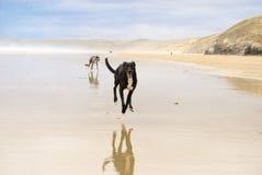 Perros en la playa imagen de archivo libre de regalías