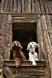 Perros en la ventana Imagen de archivo libre de regalías