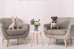 Perros en las butacas Imagen de archivo libre de regalías