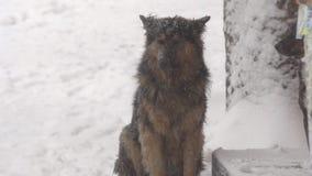 Perros en nevadas fuertes almacen de video