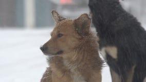 Perros en nevadas fuertes almacen de metraje de vídeo