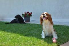 Perros en patio trasero Imágenes de archivo libres de regalías