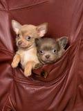 Perros en un bolsillo de la chaqueta Imagen de archivo libre de regalías