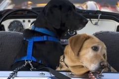 Perros en un convertible Fotografía de archivo libre de regalías
