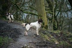 Perros en un paseo Imagenes de archivo