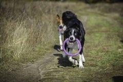 Perros en un paseo en el parque Fotografía de archivo libre de regalías