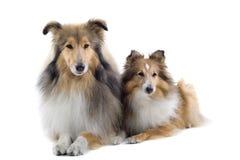 Perros escoceses del collie Imagenes de archivo