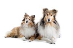 Perros escoceses del collie Imagen de archivo libre de regalías