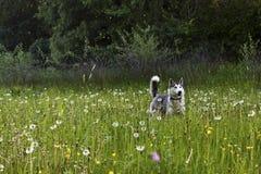 Perros esquimales en el campo fotografía de archivo libre de regalías