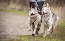 Perros esquimales siberianos Foto de archivo libre de regalías