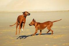 Perros felices Imagen de archivo