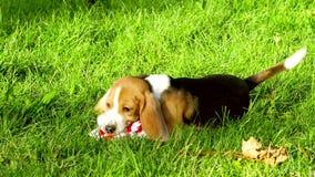 Perros felices del beagle en parque Cámara lenta almacen de video