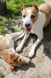 Perros felices preciosos Fotografía de archivo