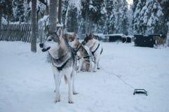 Perros fornidos que esperan para correr en la nieve Foto de archivo libre de regalías