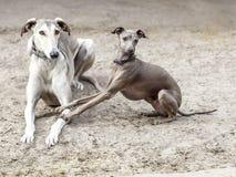 Perros grises Fotos de archivo libres de regalías