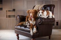 Perros Jack Russell Terrier y Nova Scotia Duck Tolling Retriever que mienten en la silla de cuero en desván interior imagenes de archivo