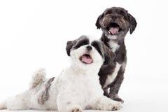 2 perros jovenes del tzu del shi Foto de archivo