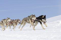 Perros juguetones en la montaña Fotografía de archivo libre de regalías