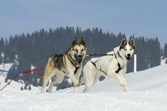 Perros juguetones en la montaña Imagen de archivo