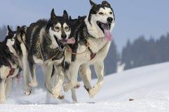 Perros juguetones en la montaña Fotografía de archivo