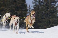 Perros juguetones en la montaña Fotos de archivo