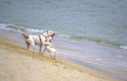 Perros juguetones en la playa Imagenes de archivo