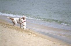 Perros juguetones en la playa Imagen de archivo
