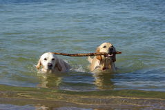 Perros junto Imágenes de archivo libres de regalías