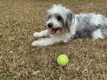 Perros lanudos blancos que se sientan en hierba seca con la pelota de tenis, jugando con los animales domésticos fotos de archivo