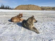 Perros libres en Siberia Foto de archivo libre de regalías