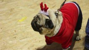 Perros lindos que llevan los accesorios caninos divertidos que cuelgan hacia fuera en el partido de los dueños del perro metrajes