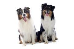 Perros lindos sentados juntos Imágenes de archivo libres de regalías