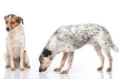 Perros mezclados de la raza fotografía de archivo